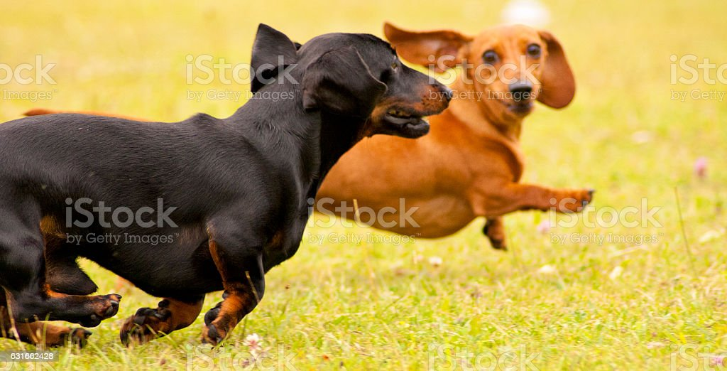Miniature Dachshunds Playing stock photo