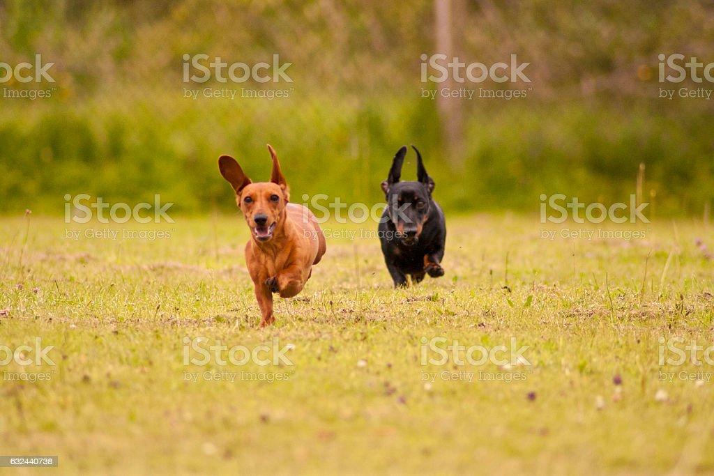 Miniature Dachshunds Playing stock photo
