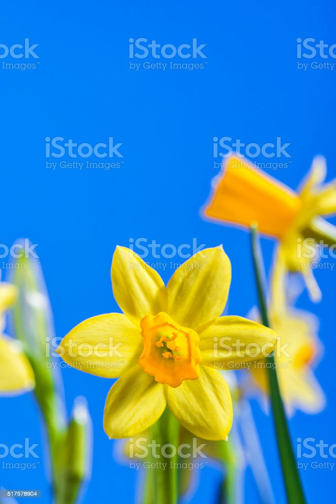 Miniature daffodils against a blue sky stock photo