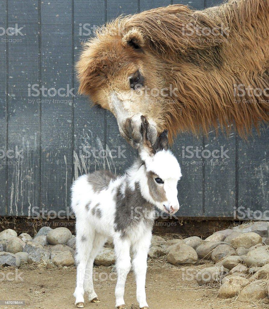 Miniature Donkey and Camel royalty-free stock photo