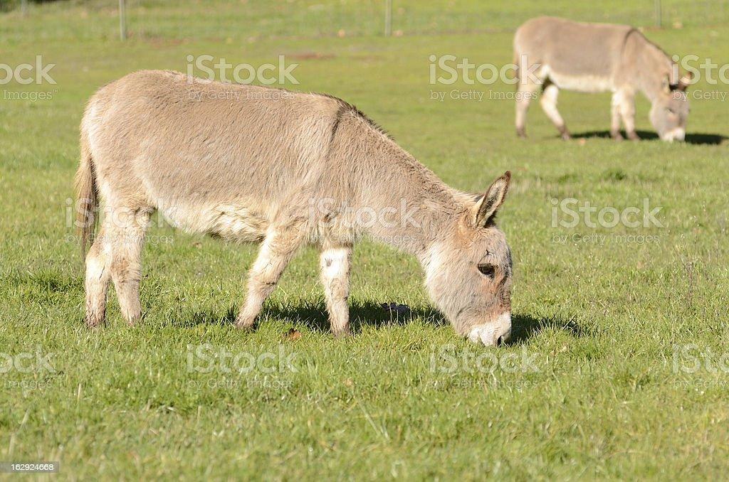 Miniature Donkey royalty-free stock photo