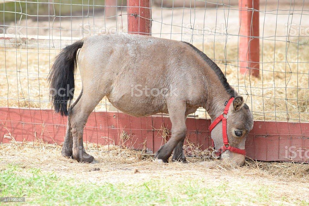 Miniature Dwarf Pony stock photo