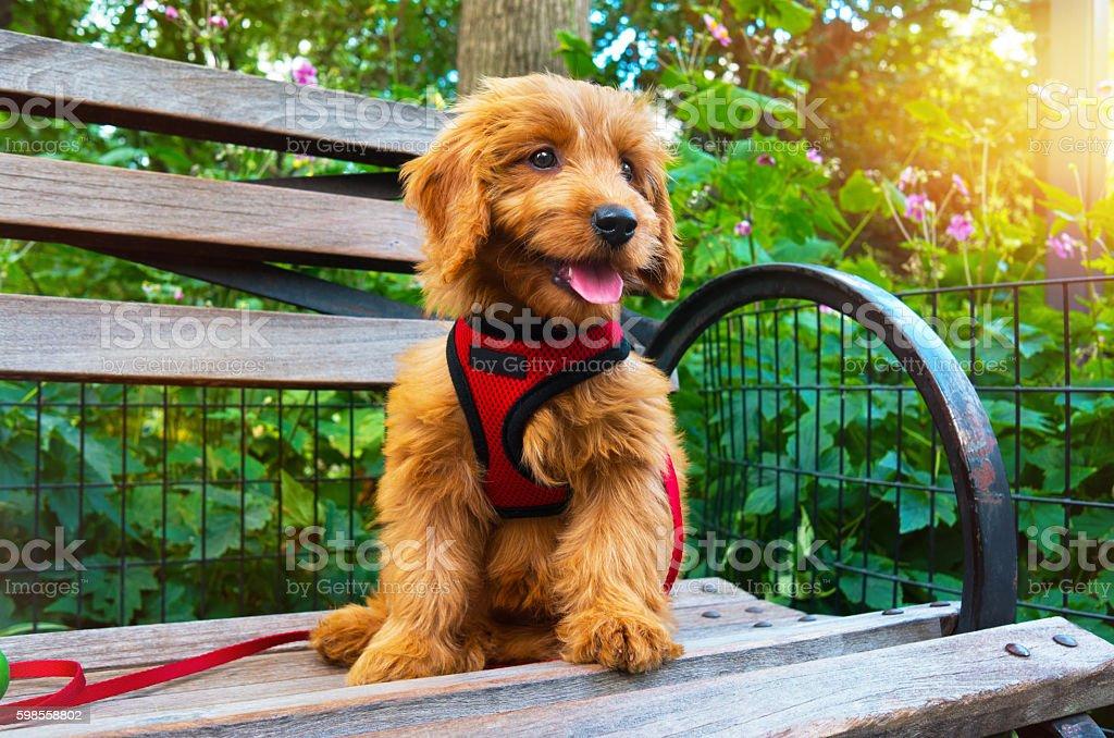 Miniature Goldendoodle puppy dog portrait stock photo