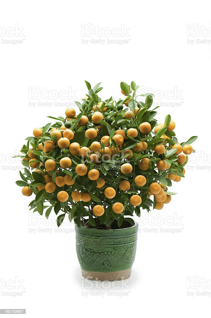Miniature Mandarin Orange Tree stock photo