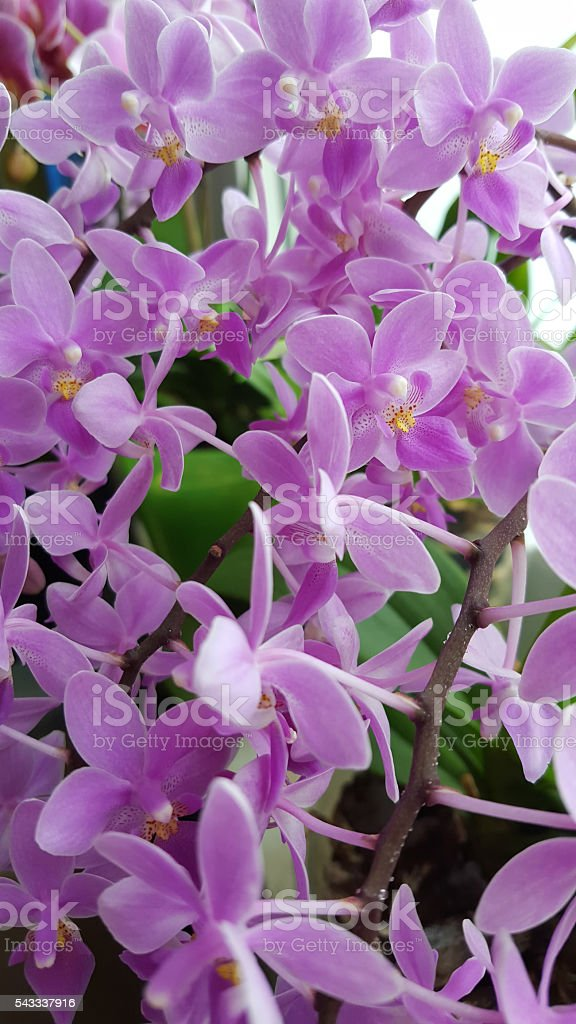 Miniature Phalaenopsis hybride orchid - pink blossoms stock photo