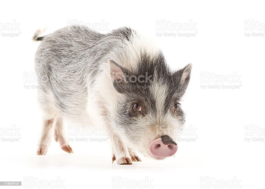 Miniature Pig royalty-free stock photo
