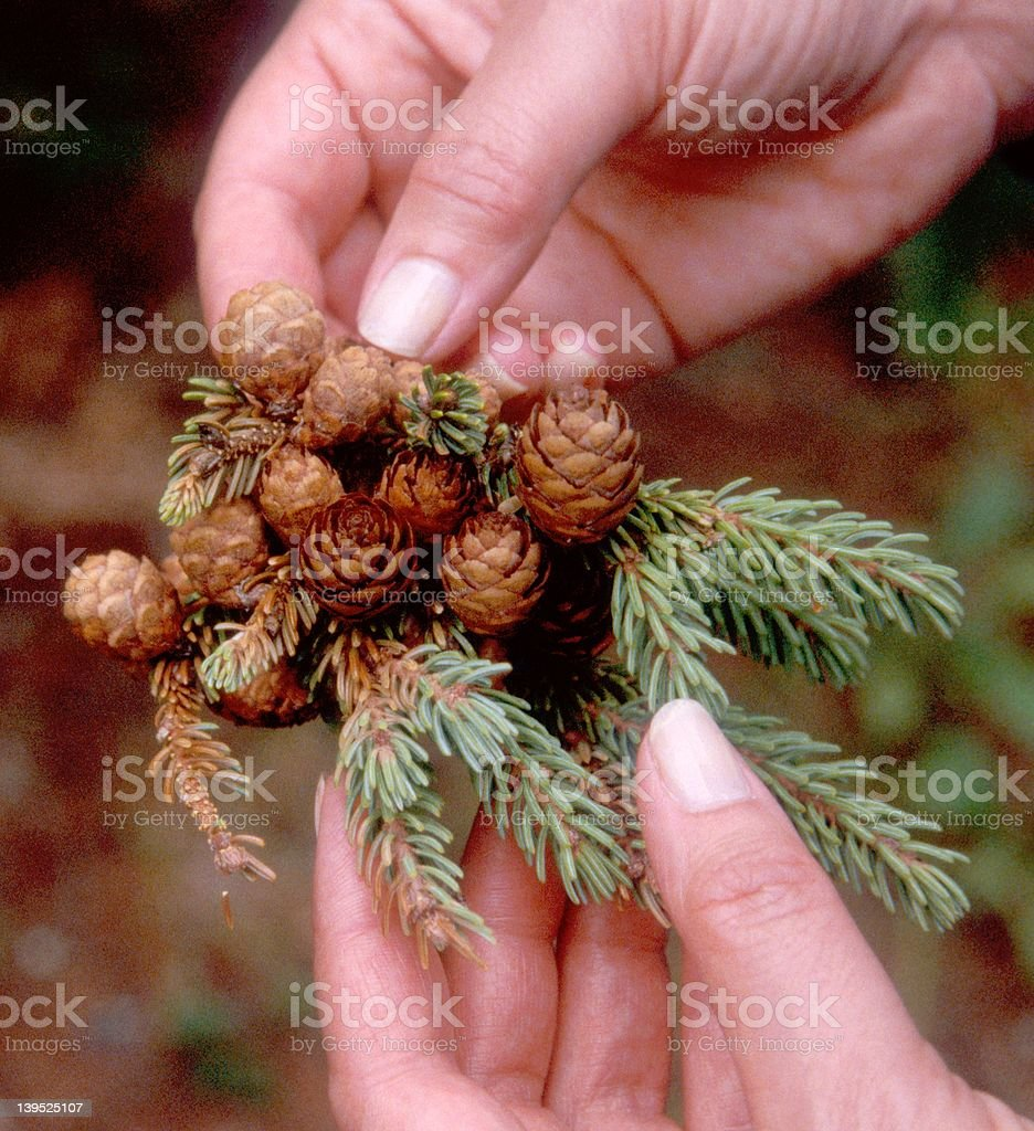 Miniature Pinecones royalty-free stock photo