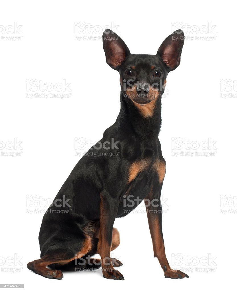 Miniature Pinscher, 10 months old, sitting against white background stock photo