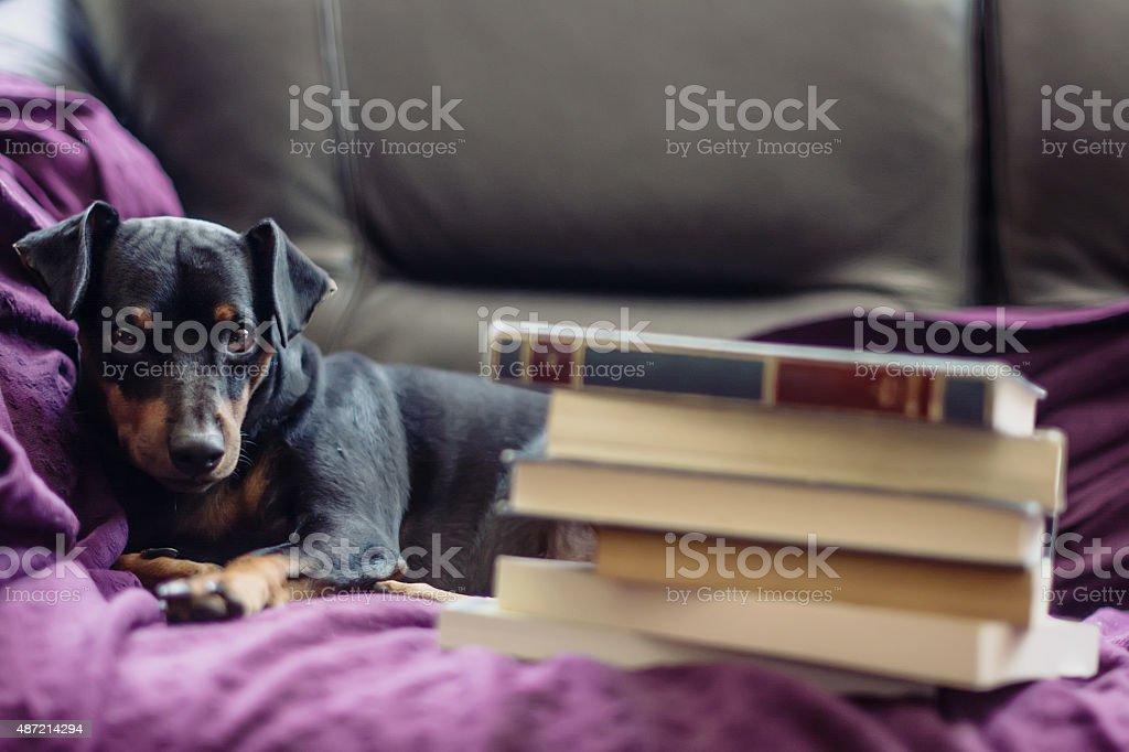 Miniature Pinscher among the books stock photo