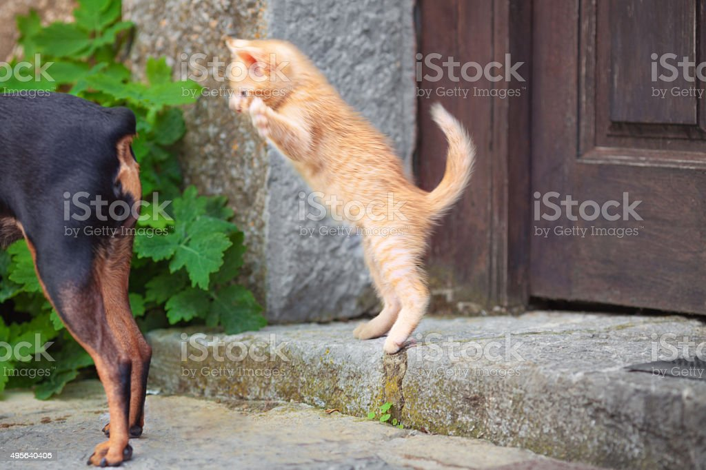 Miniature pinscher and kitten stock photo