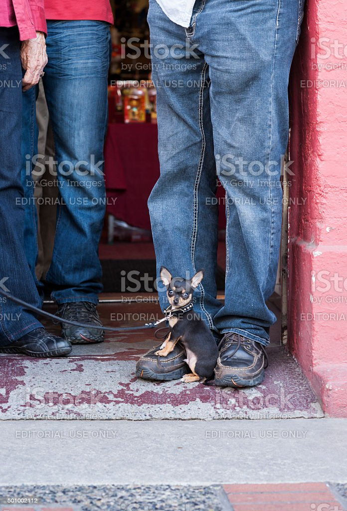 Miniature Pinscher dog sits on a man's shoe stock photo