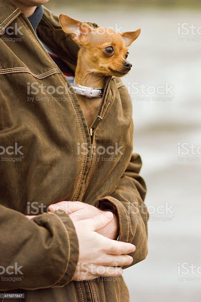 Miniature Pinscher in one's bosom: Dog show stock photo
