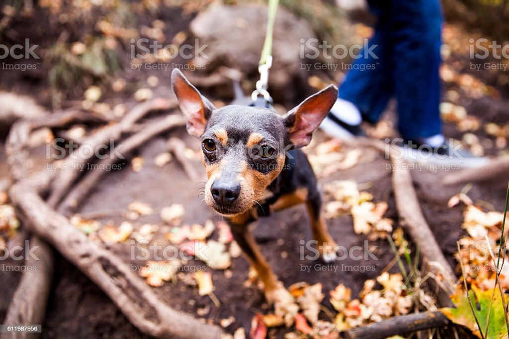 Miniature Pinscher out for a Walk In the Woods stock photo