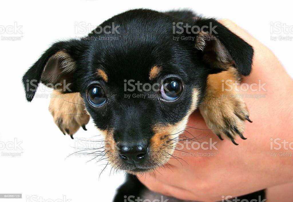 Miniature Pinscher (Purebred Dog) stock photo