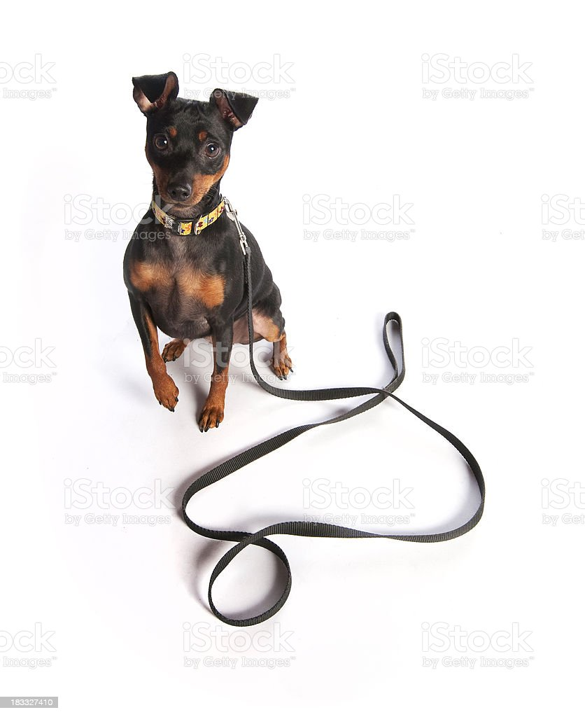 Miniature Pinscher with Leash stock photo