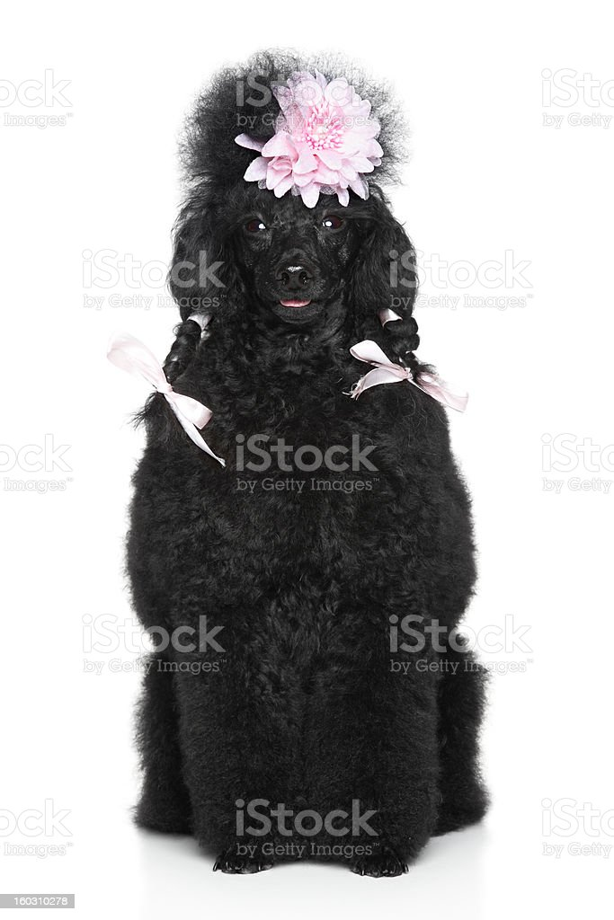 Miniature Poodle portrait on white background stock photo