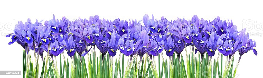 miniature purple iris border stock photo