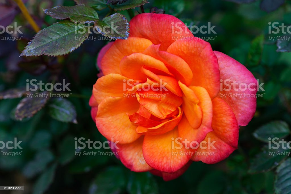 Miniature rose stock photo