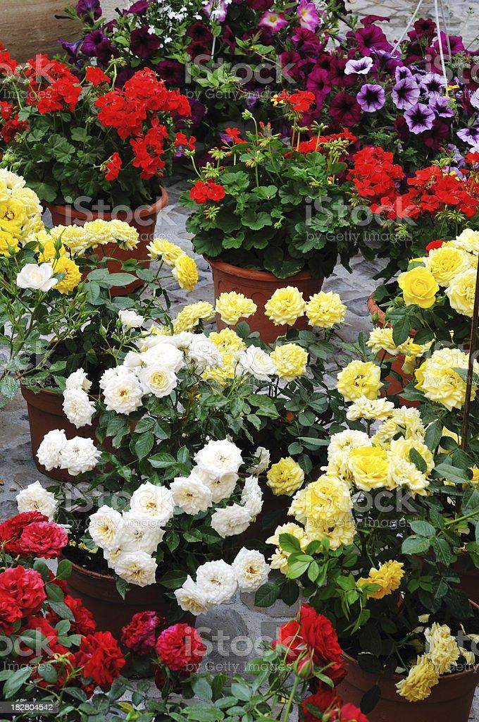 'Miniature roses, geraniums and petunias' stock photo