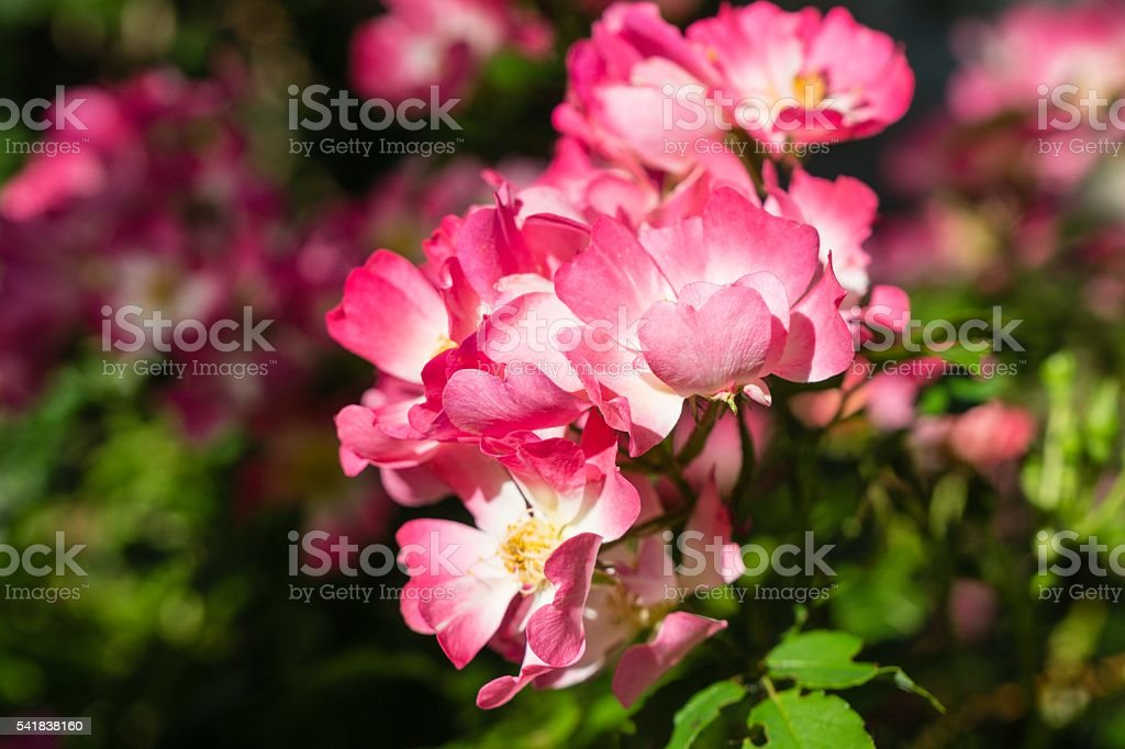 Miniature Roses in Bloom stock photo
