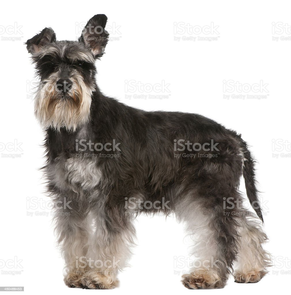 Miniature Schnauzer, 6 years old stock photo