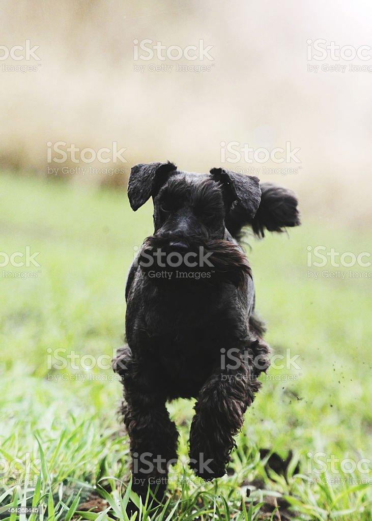 miniature schnauzer dog puppy nature walking detail stock photo