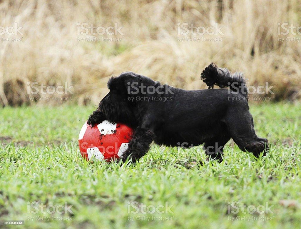 miniature schnauzer dog puppy playfully humor tricks ball stock photo