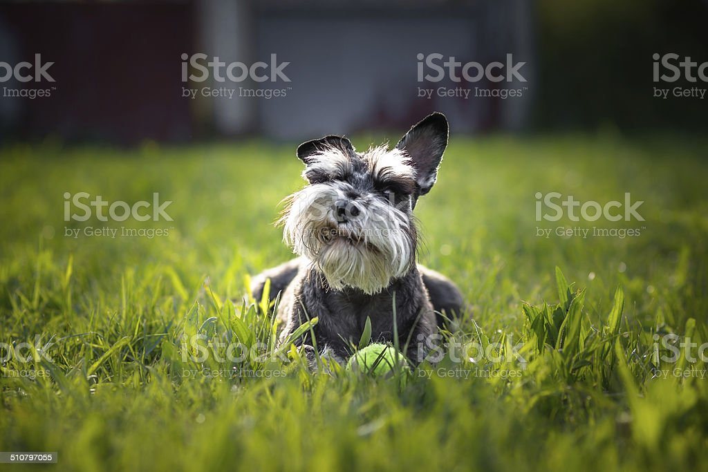 Miniature schnauzer dog - What's Up, Doc? stock photo