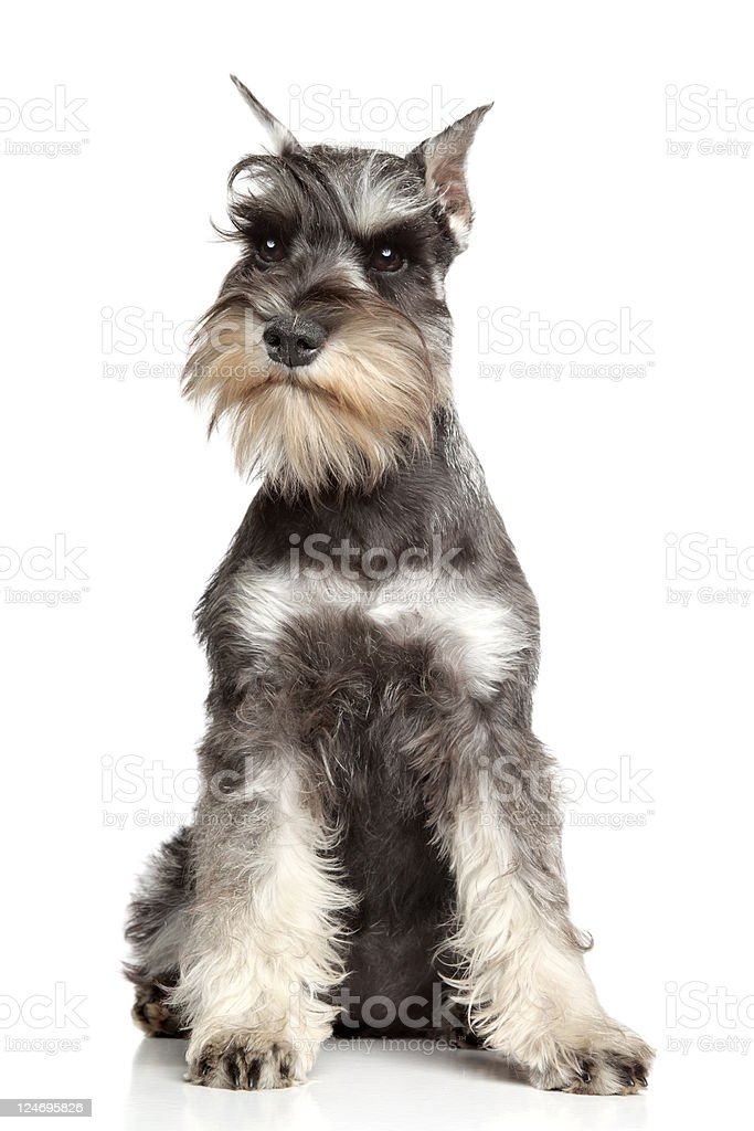 Miniature schnauzer isolated on white stock photo