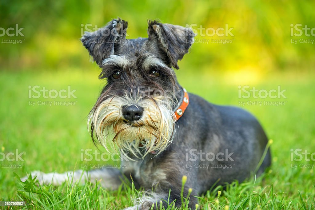 Miniature schnauzer lying on the grass stock photo