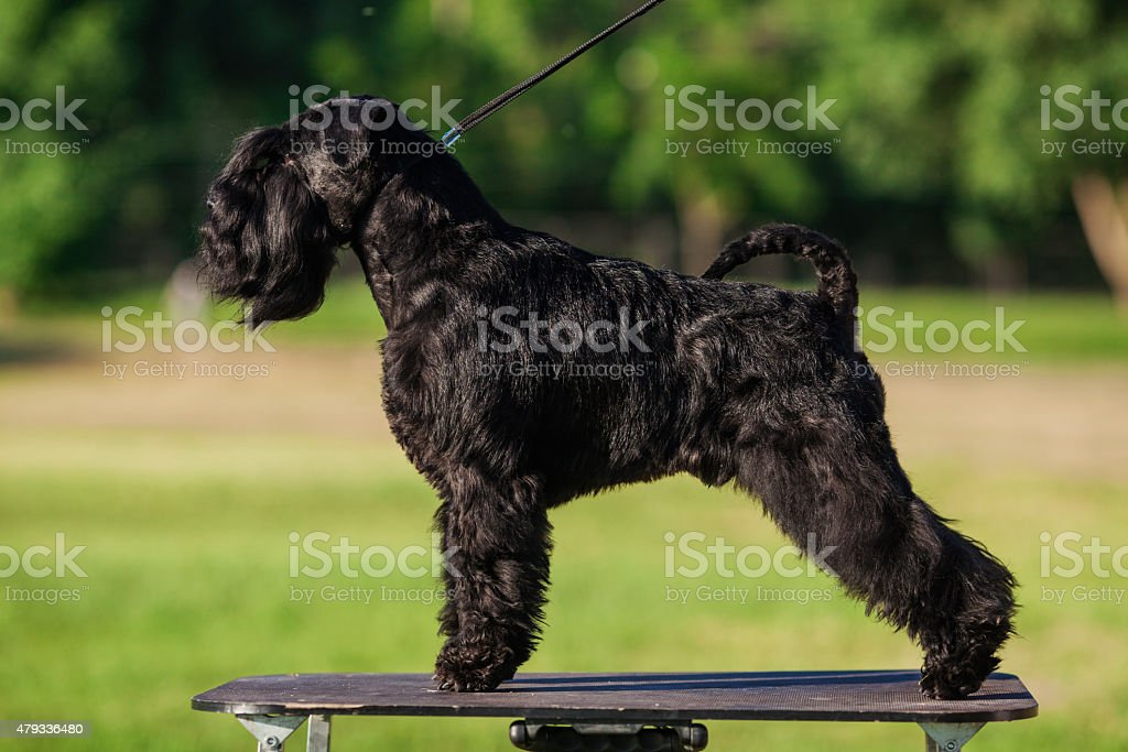 Zwergschnauzer stock photo