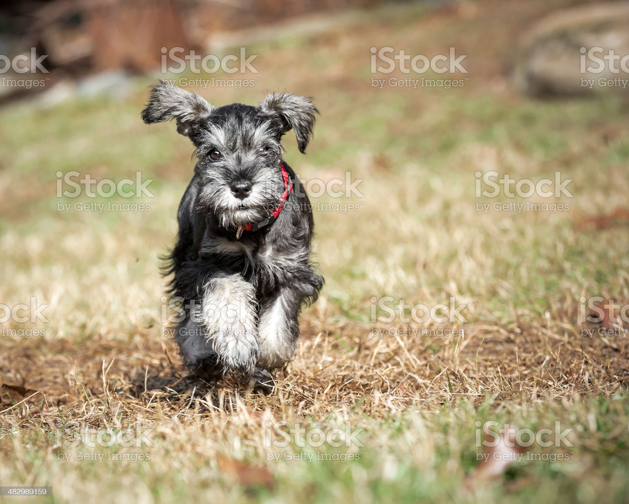 Miniature Schnauzer royalty-free stock photo
