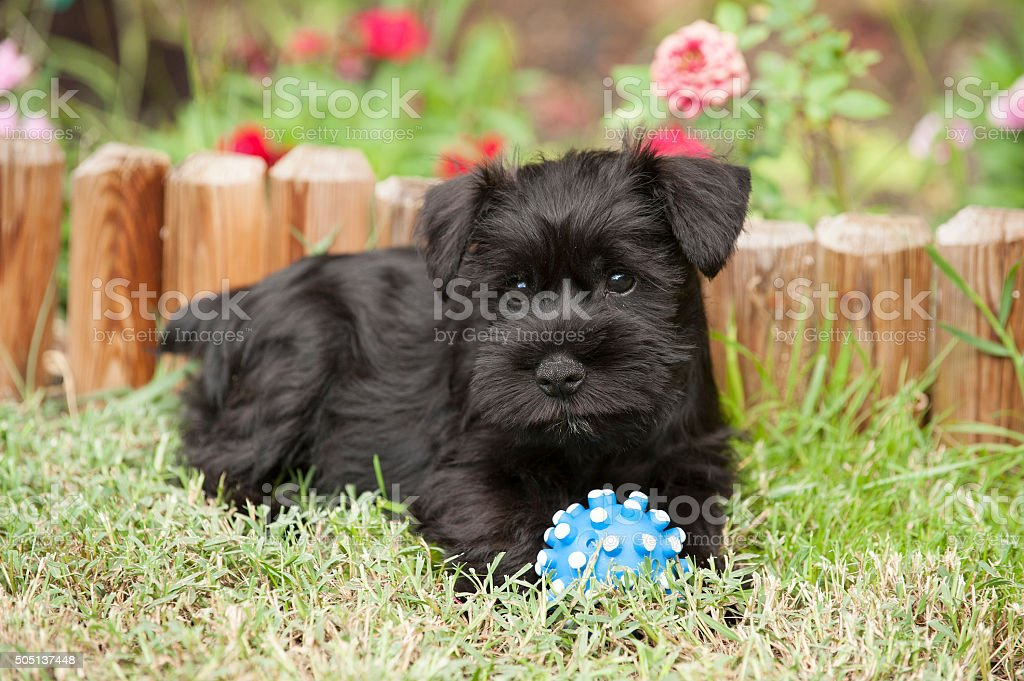 Miniature schnauzer puppie sitting on the lawn stock photo