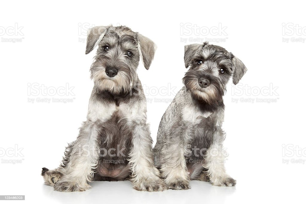 Miniature schnauzer puppies on a white background stock photo