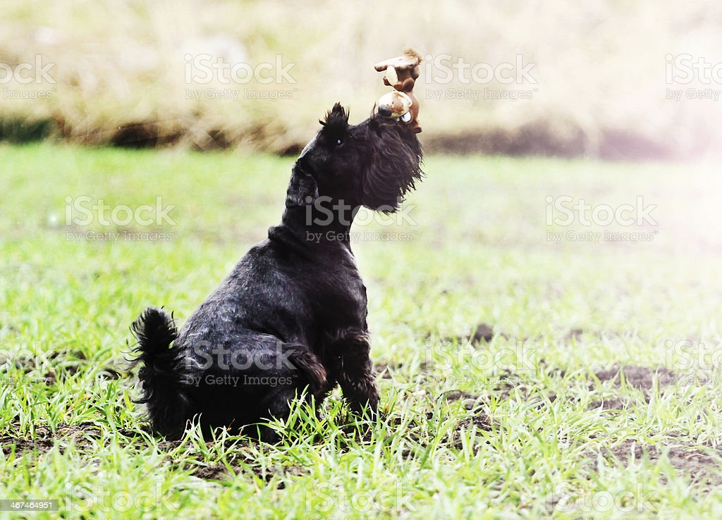 miniature schnauzer puppy dog stock photo