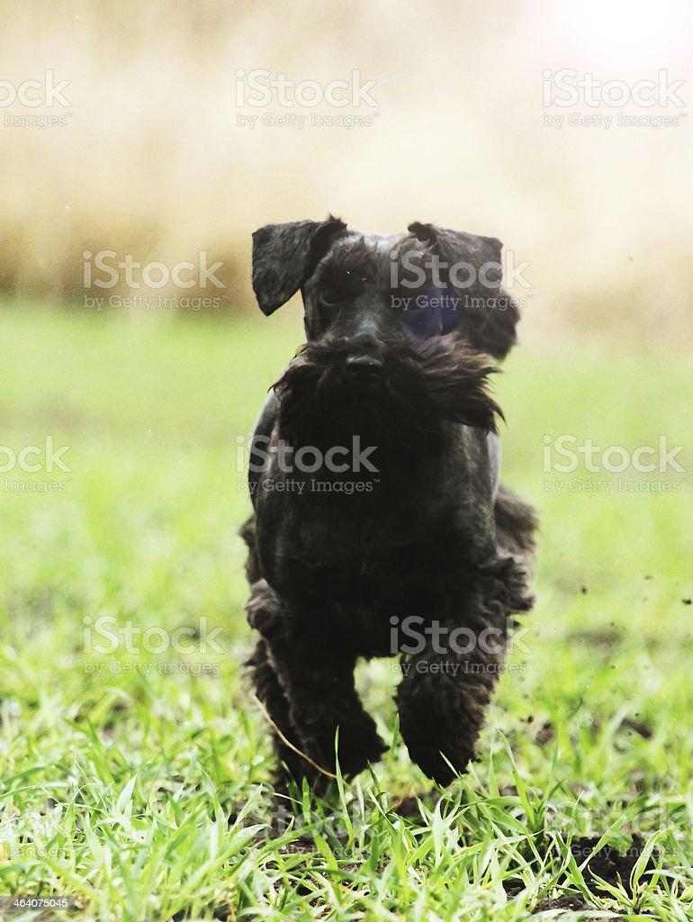 miniature schnauzer puppy dog walking nature stock photo