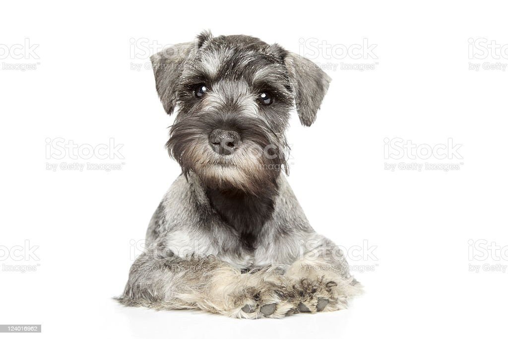 Miniature schnauzer puppy stock photo