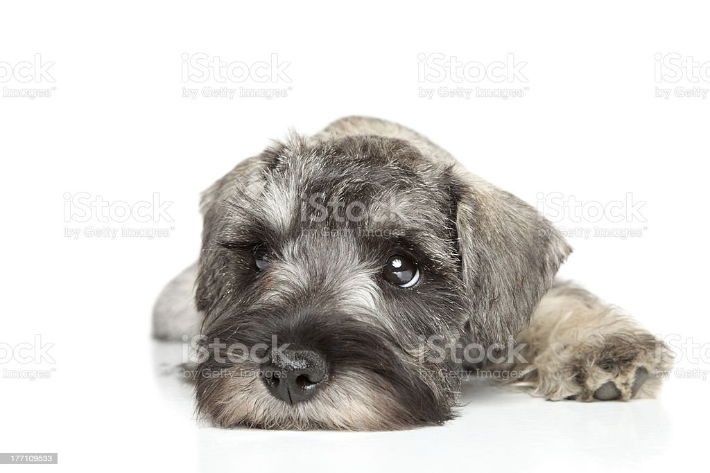 Miniature schnauzer puppy. stock photo