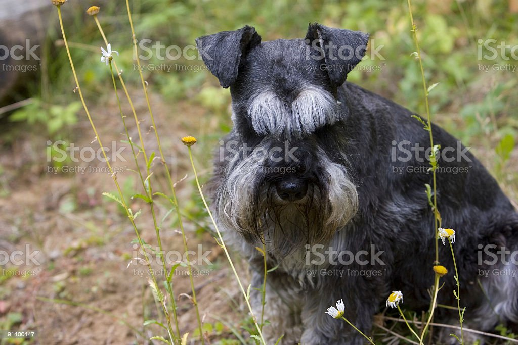 Miniature Schnauzer Smelling the Flowers royalty-free stock photo