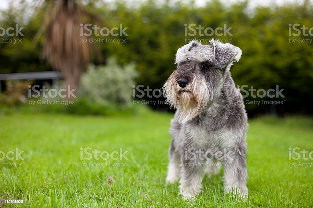 Miniature Schnauzer Standing In Garden stock photo