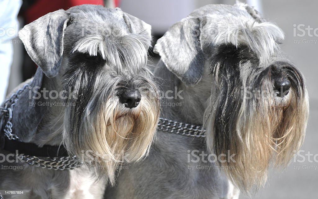 Miniature Schnauzers Dogs stock photo