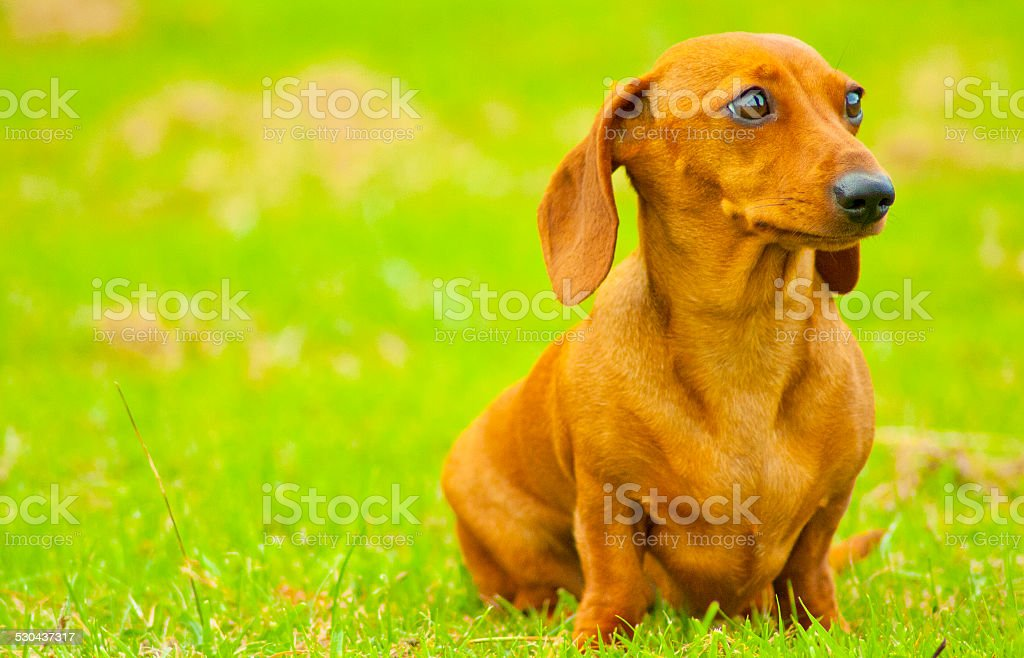 Miniature Smooth Haired Dachshund stock photo
