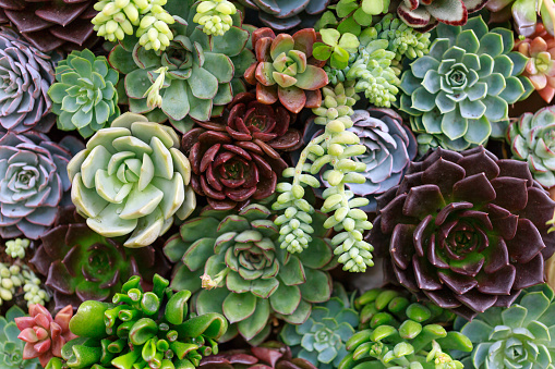 Walmart Stock Phone Number >> Succulent Plant Pictures, Images and Stock Photos - iStock