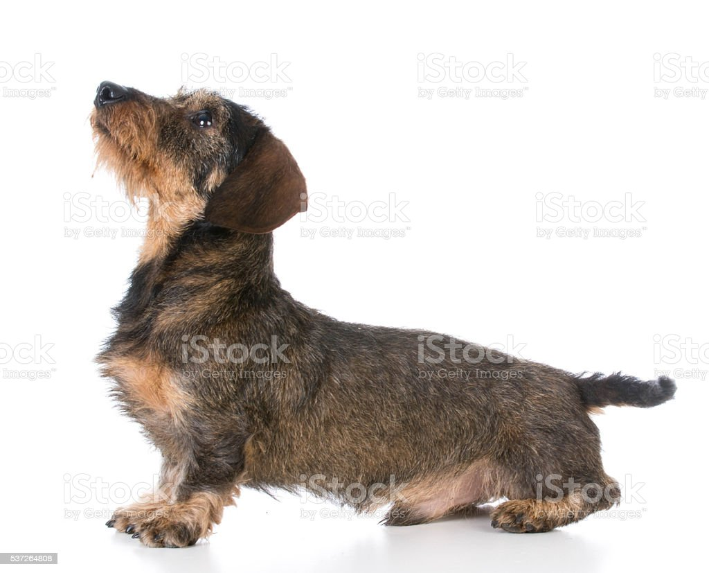 miniature wirehaired dachshund stock photo
