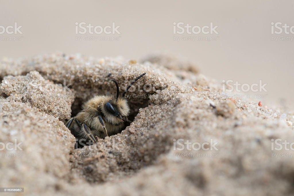 Mining bee - Andrena barbilabris stock photo