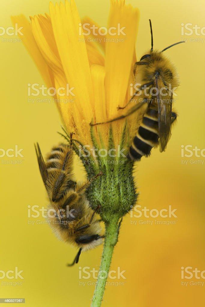 Mining bee, Dasypoda hirtipes resting on yellow flower stock photo