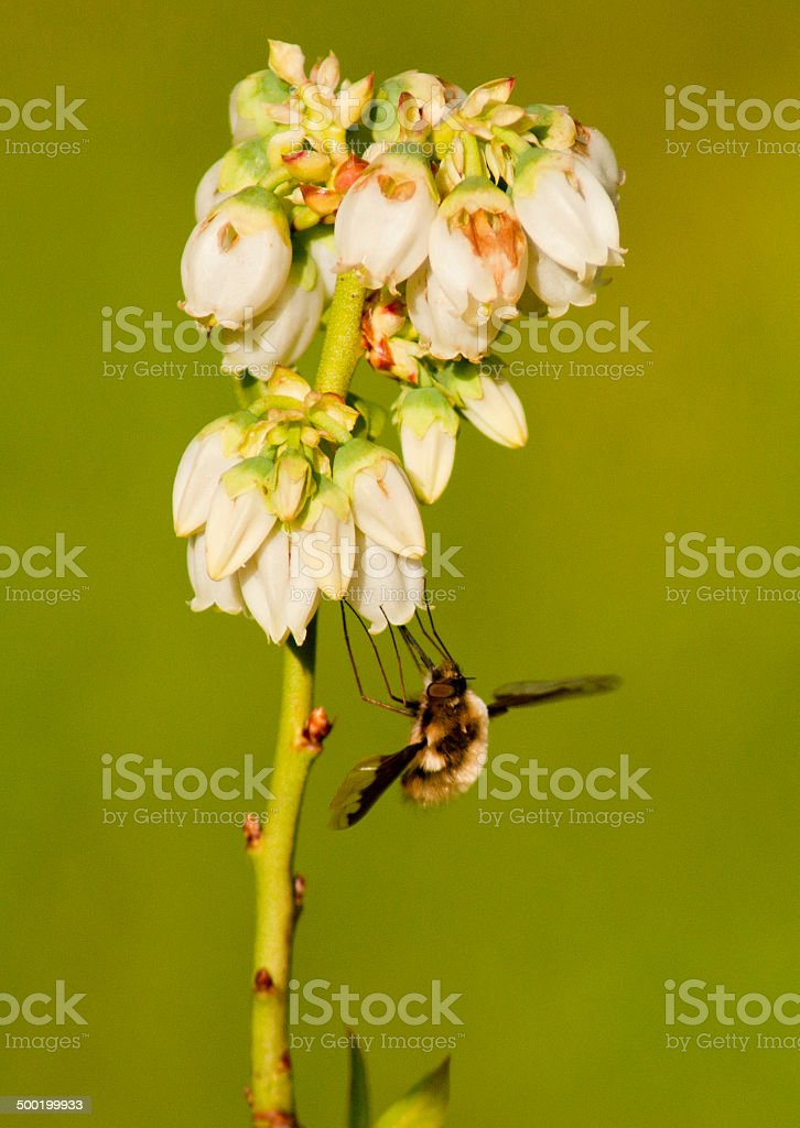 Mining Bee Fly sits on Blueberry Blooms stock photo