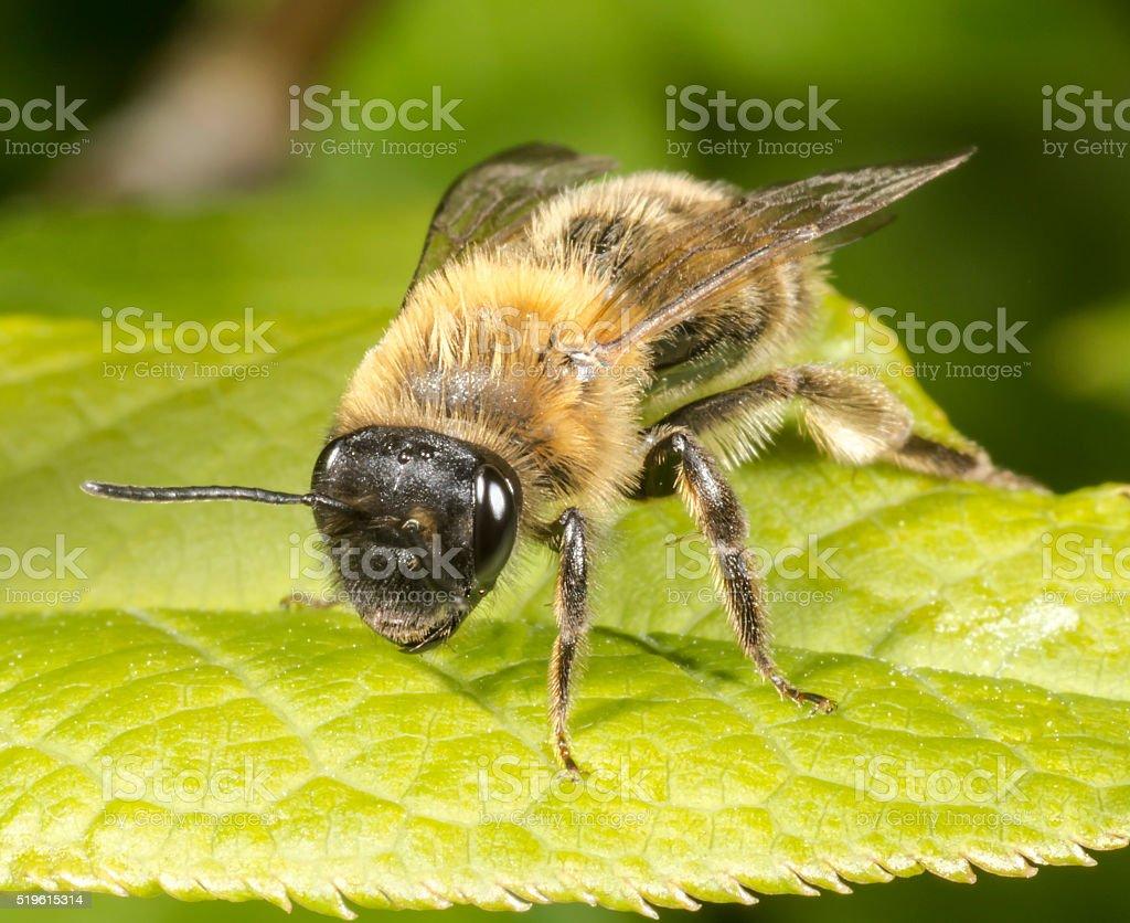 Mining Bee on leaf stock photo