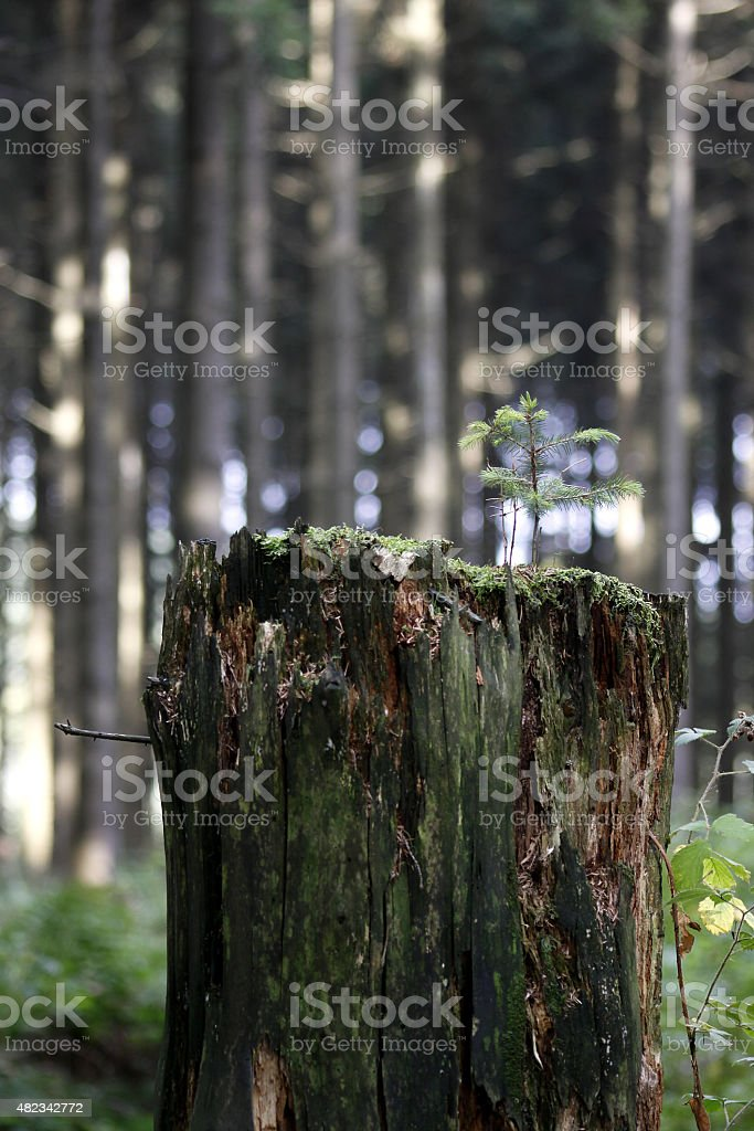 Mini-spruce on tree stump stock photo