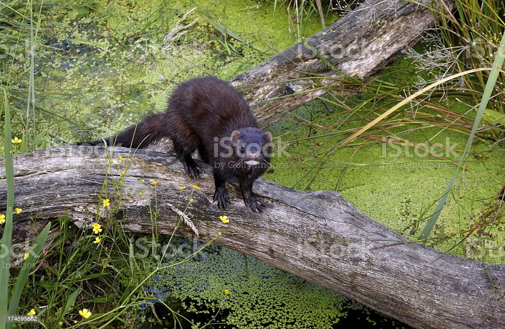 Mink crossing log stock photo